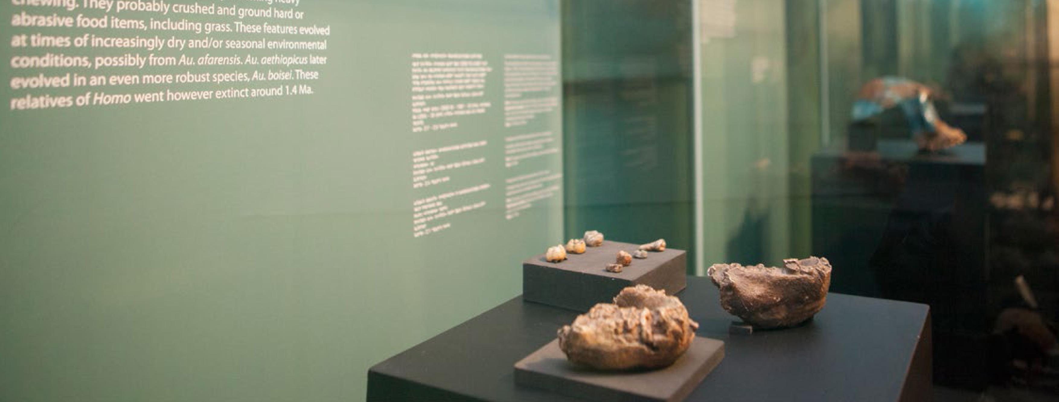vue d'une vitrine de l'hominides Time Line